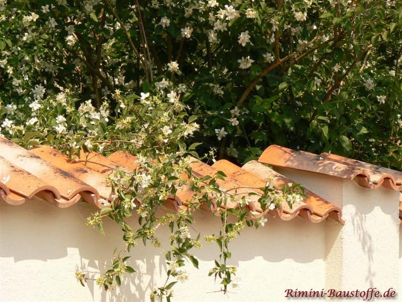 Beige Putzmauer mit mediterraner Mauerabdeckung aus Halbschalen mit grünen Ranken umgeben